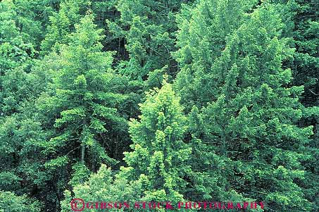 fir tree forest California Stock Photo 13749